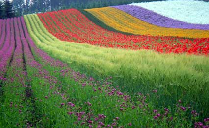 Field of multi-colored flower rows