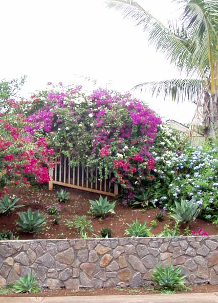 Bougainvilleas on Lae St in Kuau Bayview