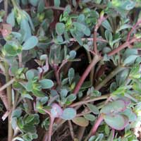 Photo of Common Purslane