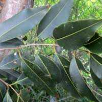Photo of Ficus