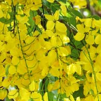 Photo of Golden Shower Tree