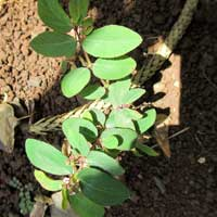 Photo of Graceful Spurge