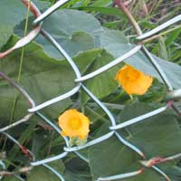 Photo of Hairy Abutilon