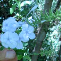 Photo of Leadwort