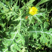 Photo of Prickly Poppy, Hawaiian Poppy