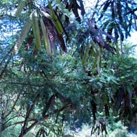 Photo of Wild Tamarind